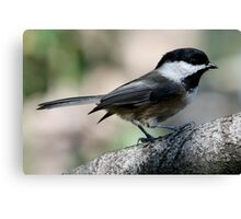 The Lovely Profile of a Black-Capped Chickadee Canvas Print