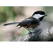 The Lovely Profile of a Black-Capped Chickadee Photographic Print