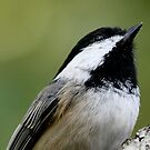 Portrait of a Black-Capped Chickadee by Wolf Read
