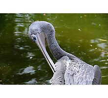 Preening Photographic Print
