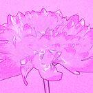 Pink dahlia by Sandra O'Connor