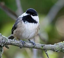 Black-Capped Chickadee With a Well-Suited Perch by Wolf Read