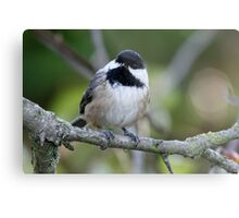 Black-Capped Chickadee With a Well-Suited Perch Metal Print