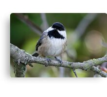 Black-Capped Chickadee With a Well-Suited Perch Canvas Print