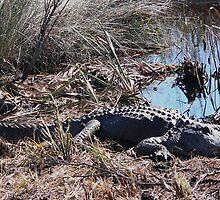 Sunning Gator Resting.... by WTBird