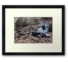 Sunning Gator Resting.... Framed Print