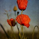 Poppies by Kasia Fiszer