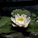 Water Lily by David DeWitt