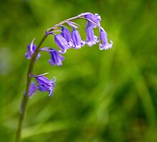 Bluebell Flowers Close Up Springtime by Nick Jenkins