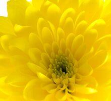 Yellow dahlia by Sandra O'Connor