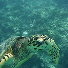 Close Turtle Encounter by Jacquiyeo