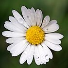 Daisy Dew by alienfunk