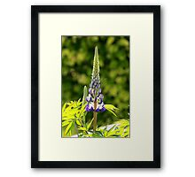 A single lupin Framed Print