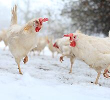 Rescued hens experience snow by sanctuaryfaces