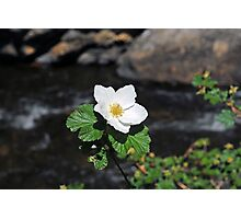White Wild Rose in Big Thompson Canyon  Photographic Print