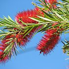From my Garden - Bottle Brush by Frandiana