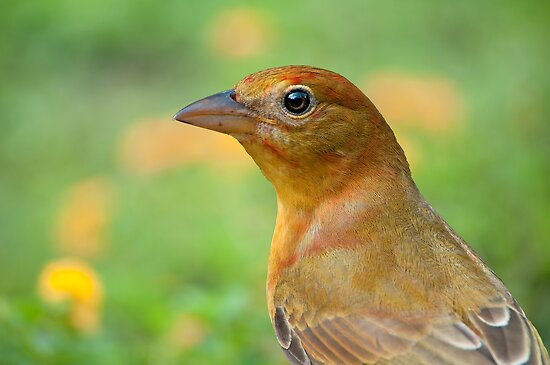 Female Summer Tanager by Bonnie T.  Barry