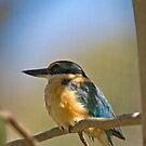 Sacred Kingfisher by SusanAdey