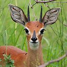 Steenbok by Jared Bloom