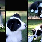 Border Collies by Varinia   - Globalphotos