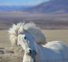 Icelandic Horse by Johan Dahlberg