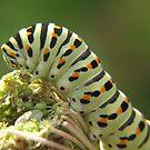 Swallowtail Caterpillar by Pamela Jayne Smith