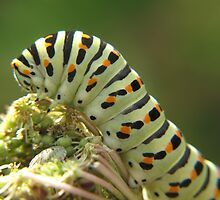 Swallowtail Caterpillar by Pamela Jayne Smith