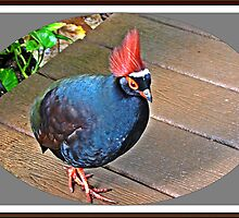 """ The Rouroul crested Partridge"" by Malcolm Chant"