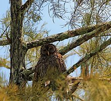 Barred Owl by kathy s gillentine