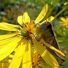 Grasshopper Green for the Love of Nature 1 by Barberelli