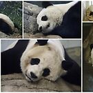 Panda's at The National Zoo, Washington DC by AnnDixon