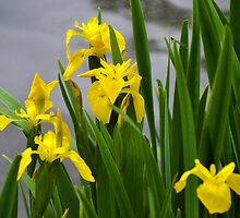 Find The Damselfly among the Yellow Irises.. by lynn carter