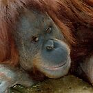 Orang Utan Suma  Melbourne Zoo by Tom Newman