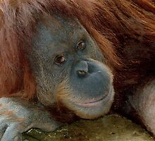 Orang Utan Suma  Melbourne Zoo by Tom Newman