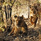 Lion's siesta by Euphemia