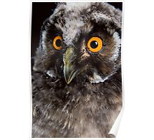 Portrait of an owl Poster