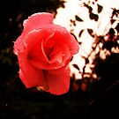 Ash roses by Annabelle Evelyn