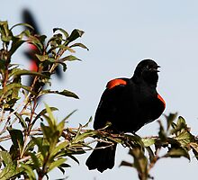 Red-Winged Blackbird Flashing the Goods by Wolf Read