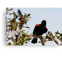 Red-Winged Blackbird Flashing the Goods Canvas Print