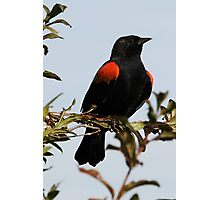 A Regal Red-Winged Blackbird Photographic Print