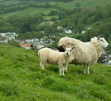 Coombe Martin Sheep  by Rob Hawkins