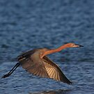 Morning Flight by kathy s gillentine