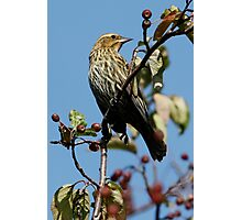 Female Red-Winged Blackbird Photographic Print