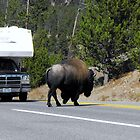 Buffalo in Yellowstone by Jan  Tribe