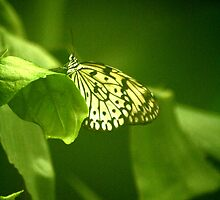 monarch by redscorpion