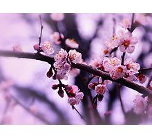 Sakura (4) Photographic Print