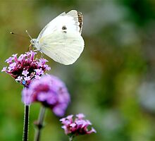 Large White by HappyCamel