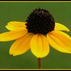 Black Eyed Susan by Nokie