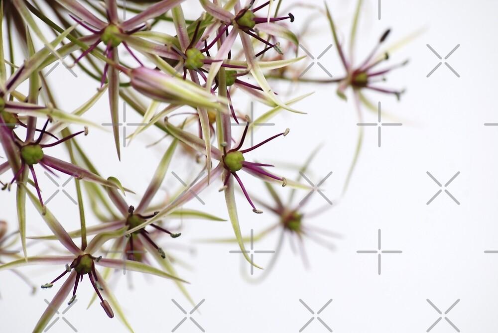 Allium by SweetLemon