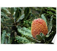 Banksia Poster